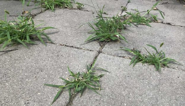 Weeds growing in the cracks of a paver patio