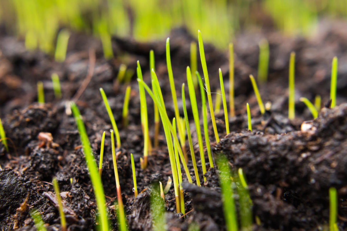New grass sprouting up through the soil