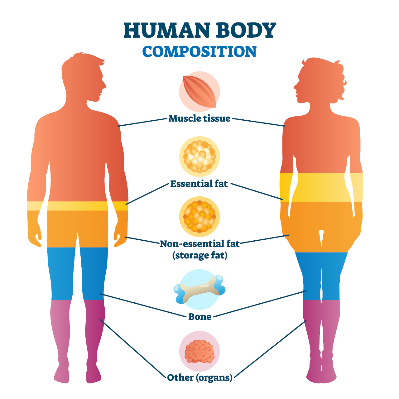 Infographic showing healthy body composition with the ideal body fat, lean muscle, bone, water, and organ mass